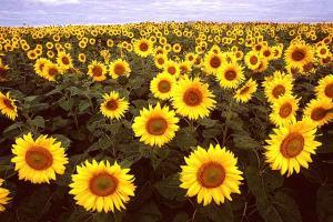 names-of-flowers-ks